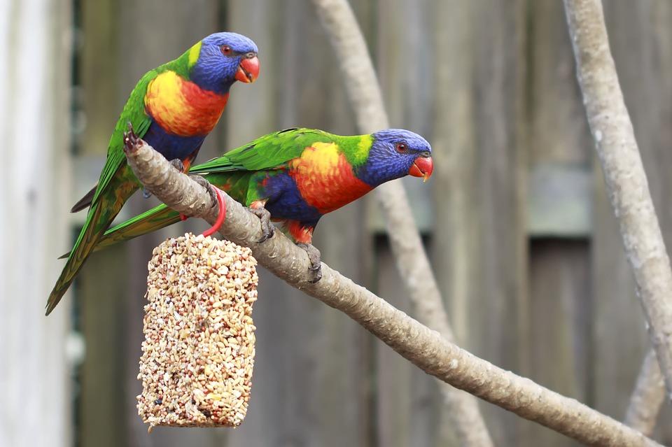 Ciri Khas Lovebird Biola