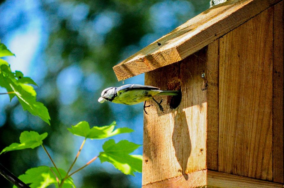 Daerah Persebaran Lovebird Biola